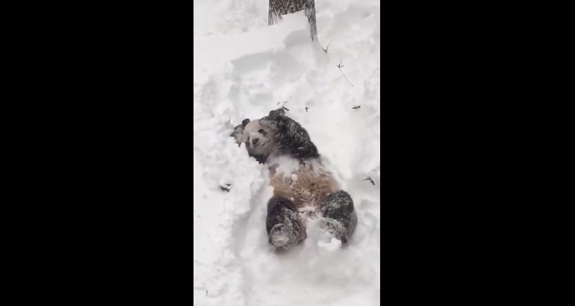 panda video