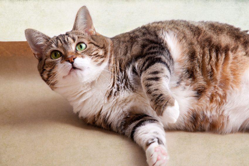 gato-obeso