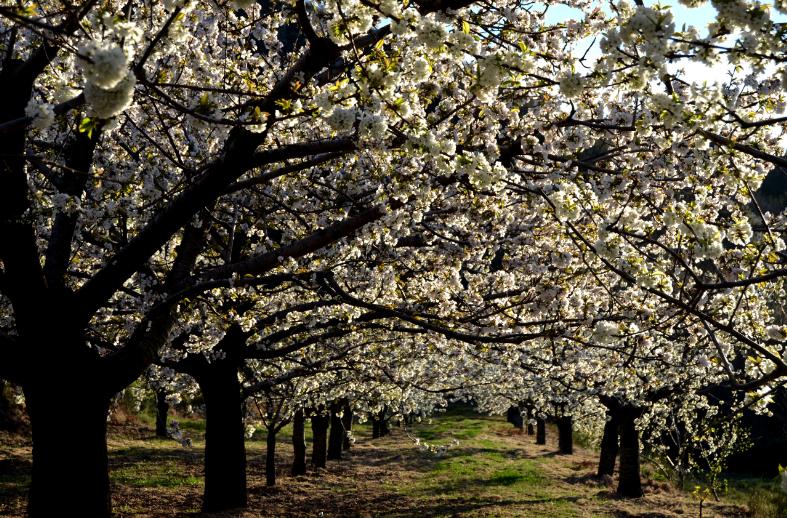 Cerejeiras em flor Fundão